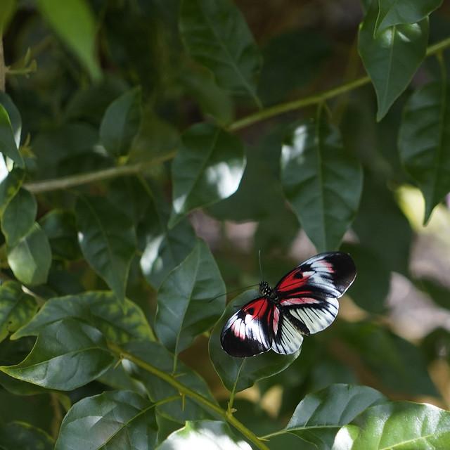 Piano key butterfly