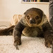Steve the Sloth