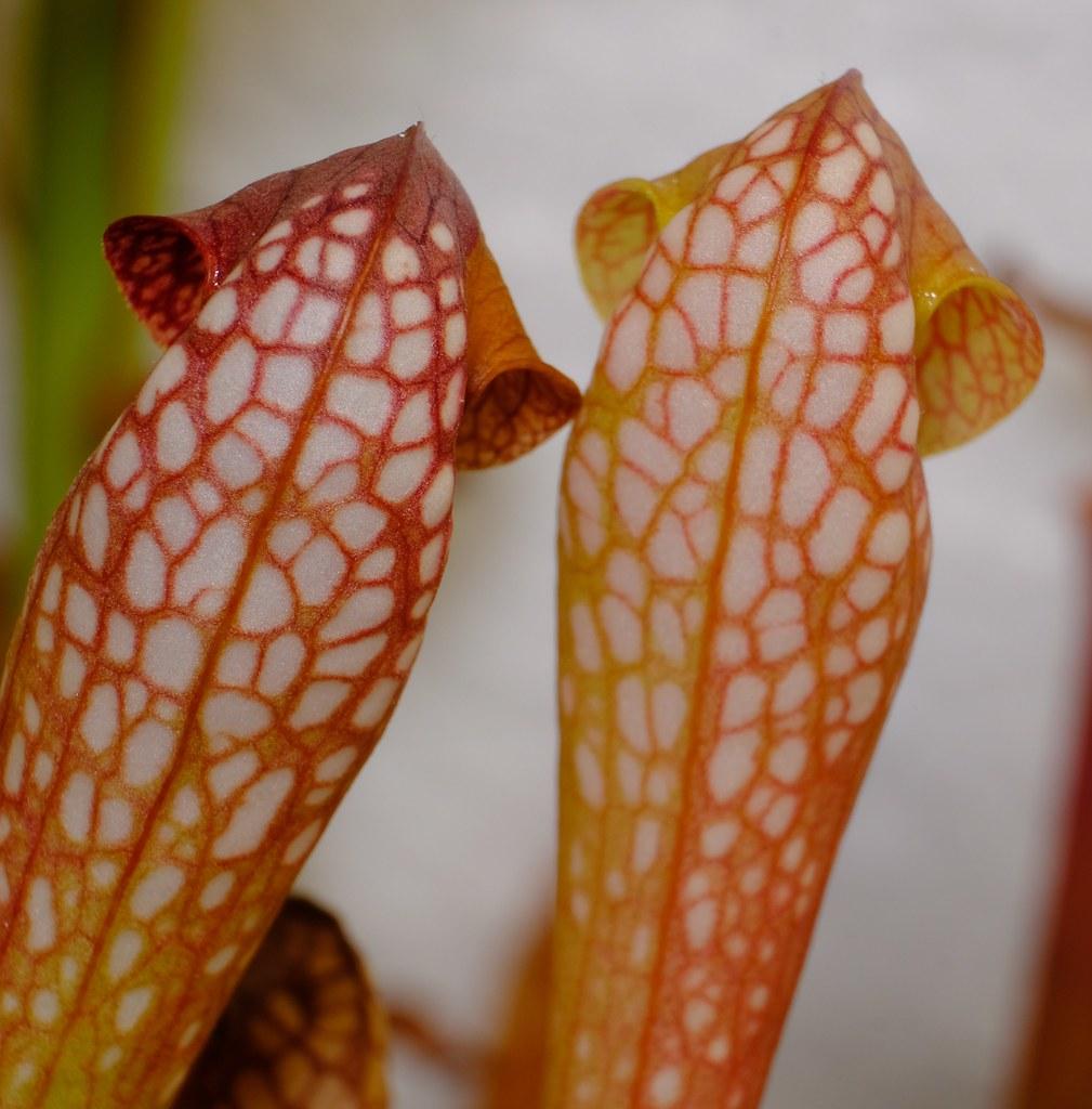 Sarracenia minor Okefenokee small form