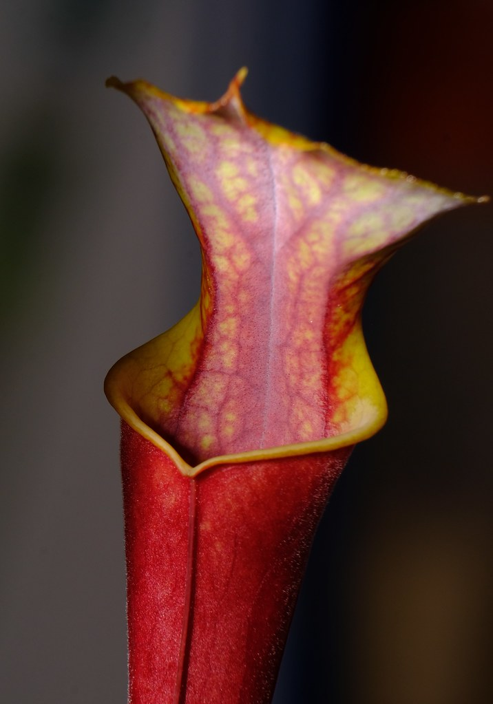 Sarracenia flava var. atropurpurea, very black, fresh tube