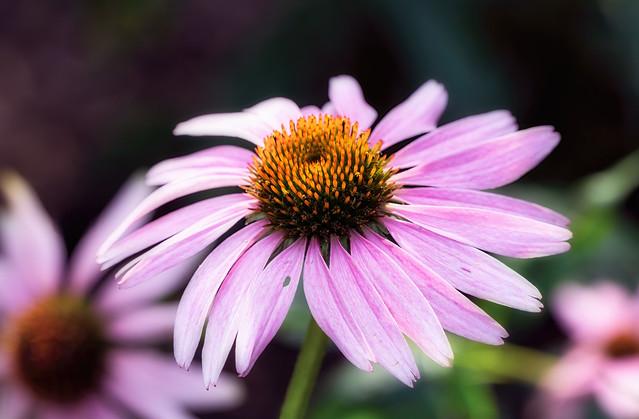 Pink coneflower