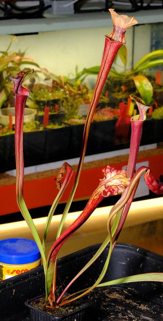 Sarracenia flava var. atropurpurea, very black!