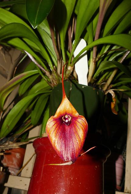 Masdevallia Prince Charming 'Highland' am-aos primary hybrid orchid 12-19