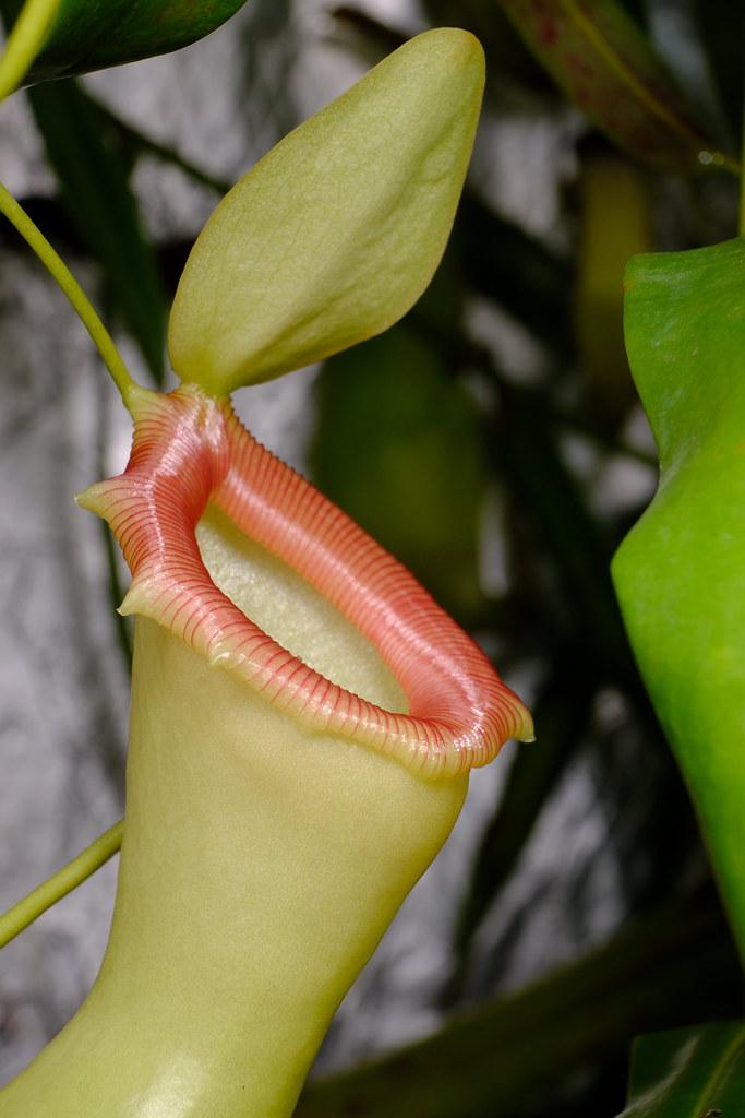 Nepenthes ventricosa