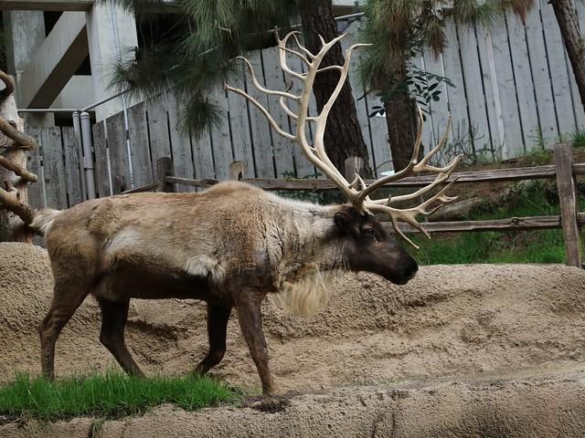 Reindeer 7D2_4452