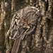 Brown Creeper foraging