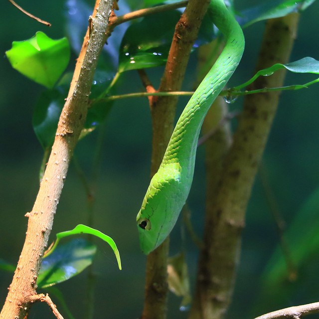 Short Nosed Vine Snake 7D2_4649