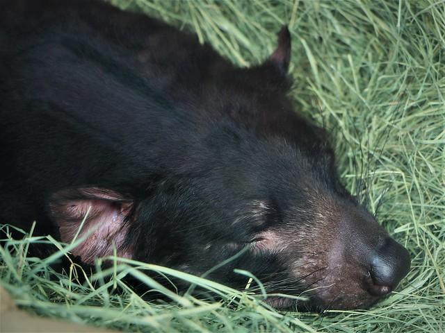 Sleeping Tasmanian Devil 7D2_4237