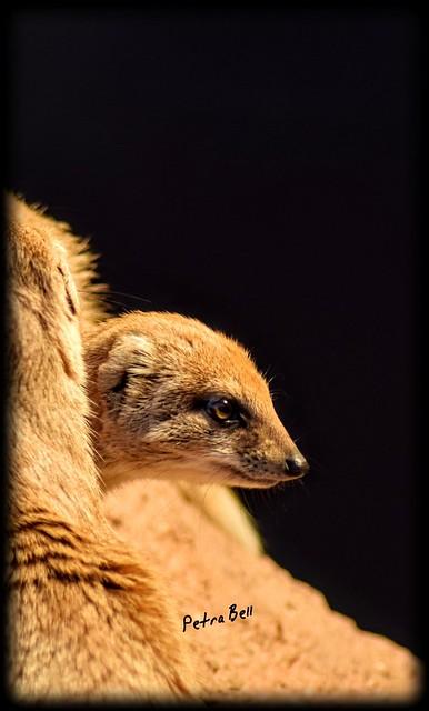 Yellow mongoose 🐾🐾💖