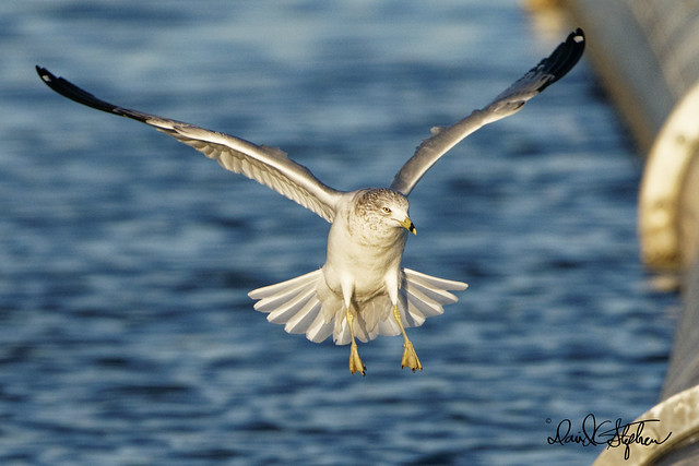 Ring-billed Gull Landing