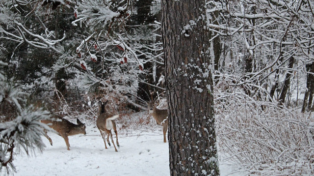 Whitetail deer - 1/16/20
