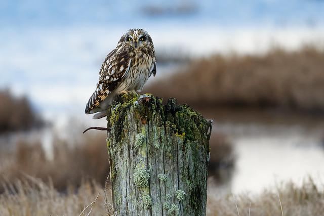 Short-eared Owl @ Crockett Lake, Whidbey Island WA