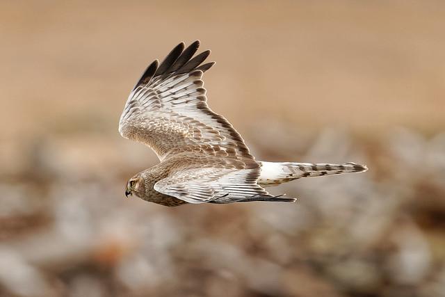 Northern Harrier @ Crockett Lake
