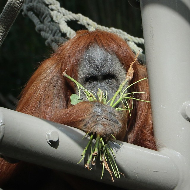 Orangutan Holding Vegitable Bouquet 7D2_4514