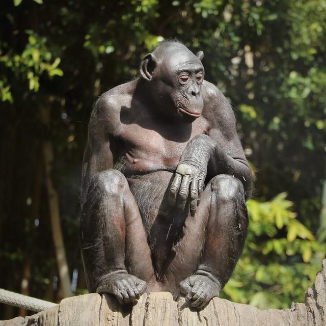 Bonobo 7D2_4565
