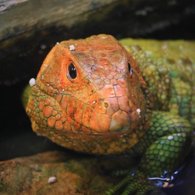 Caiman Lizard 7D2_4659