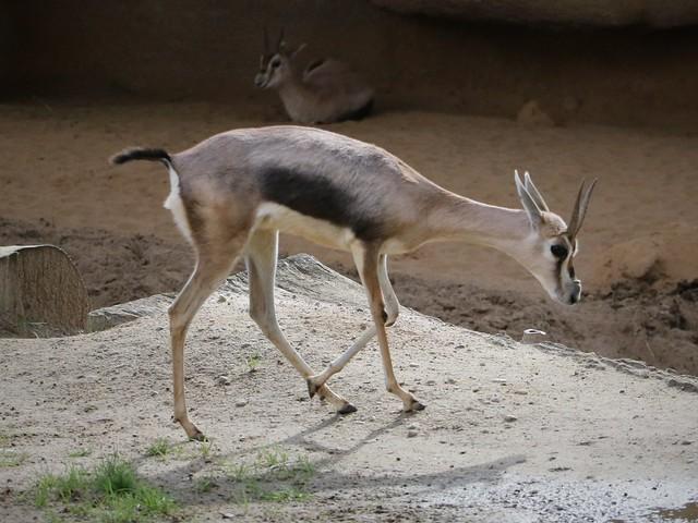 Speke's Gazelle 7D2_4400