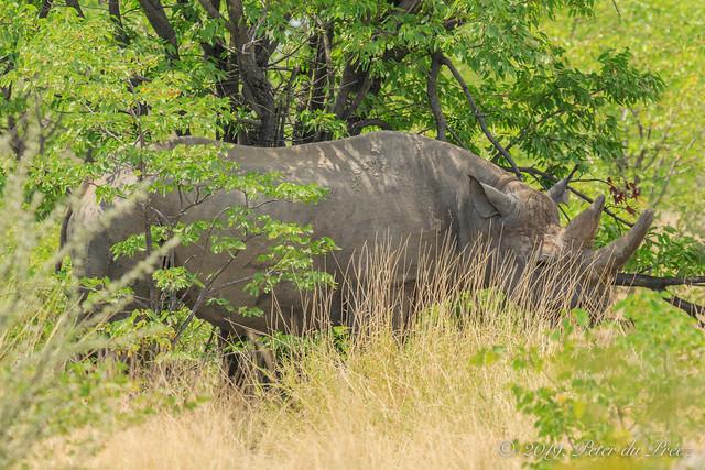 South-western black rhinoceros (Diceros bicornis occidentalis)