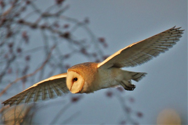Barn Owl     .  Romney Marsh .