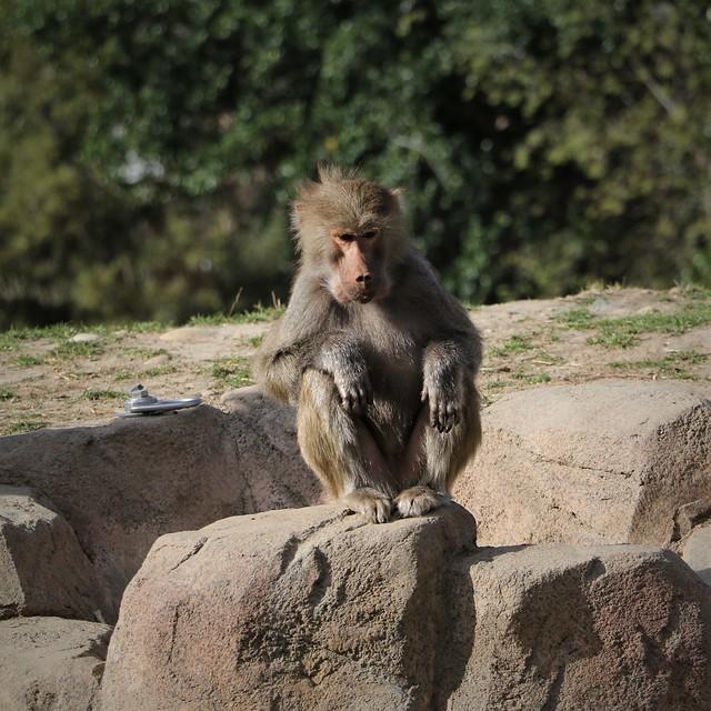 Baboon 7D2_4253