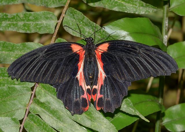 Scarlet Mormon Butterfly, Mariposario, Benalmadena, Spain