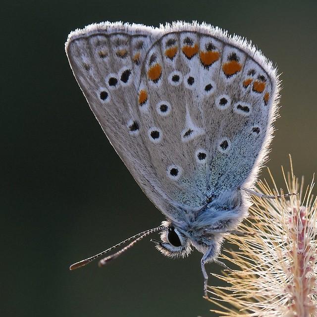 Papillon Argus bleu.