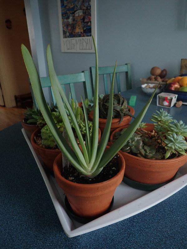 Les succulentes chez Cloo en 2020 49405394107_440a750a7a_c