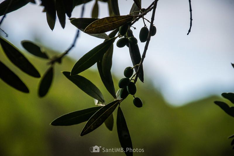 Bajo un olivo en el Camí Blanc de Olivella