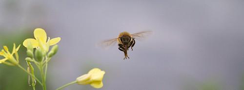 Bee - In Flight