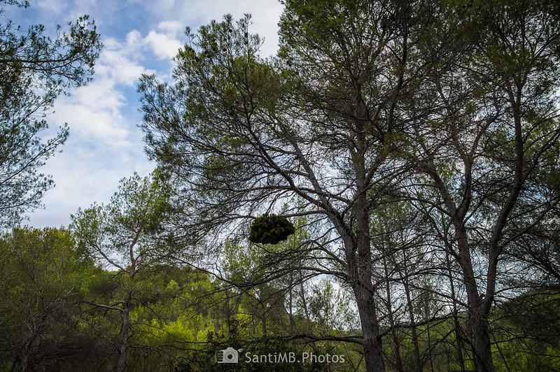Escoba de bruja en pino carrasco en Olivella