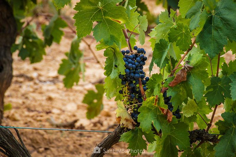 Viña de uva negra junto al Camí Blanc de Olivella