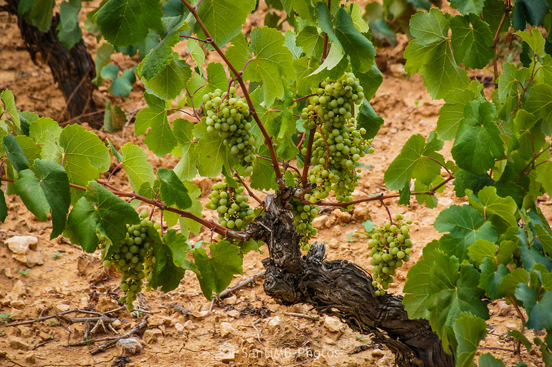 Viña de uva blanca junto al Camí Blanc de Olivella