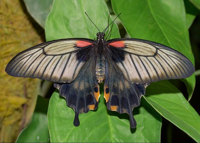 Great Mormon Butterfly, Mariposario, Benalmena, Spain