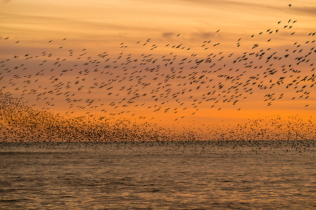 Starling murmuration in Brighton