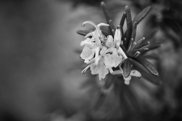 Rosemary in Bloom (18/366/2020)