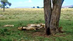 Sleeping lions, Serengeti