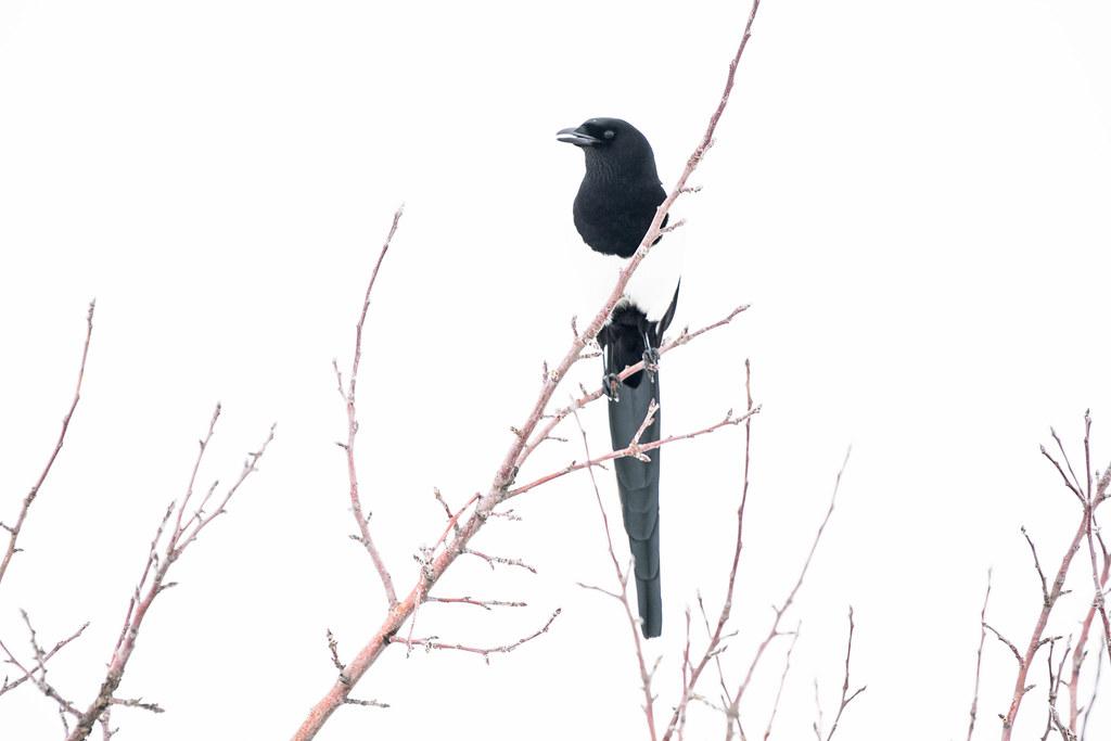 Magpie (1 of 1)