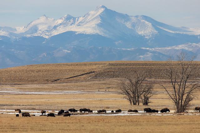 Bison and Longs Peak