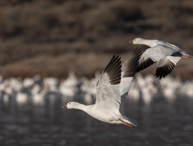 Snow Goose takes off-2