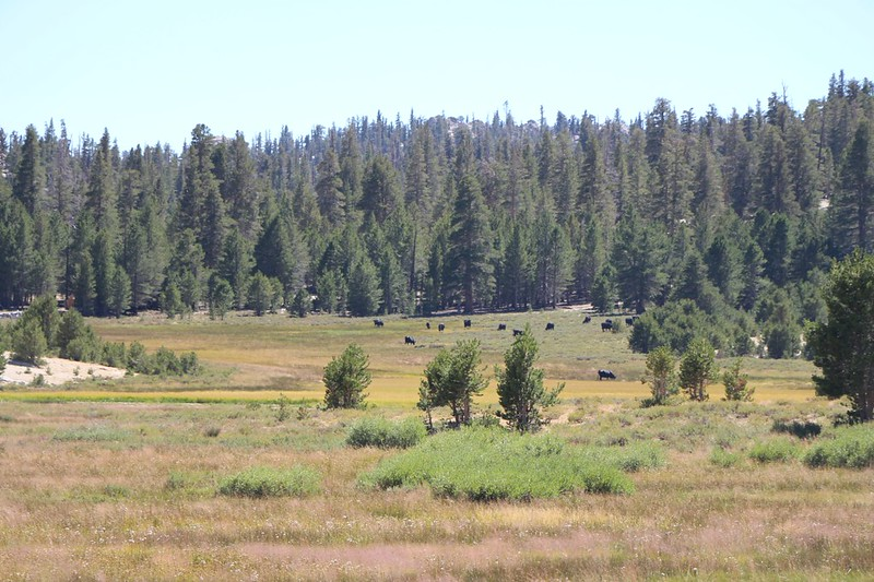 We finally caught a glimpse of the herd of cows that were grazing in a greener section of Mulkey Meadows