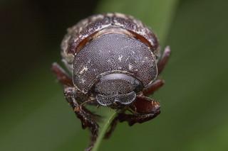 _Z2A3448 june scarab beetle