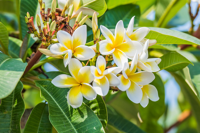 Yellow and White Frangipani Flowers in Bloom