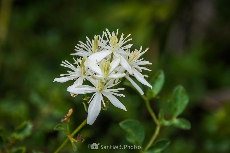 Flores de Clematis flammula en Olivella