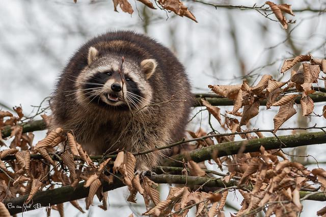 Racoon (Wasbeer)
