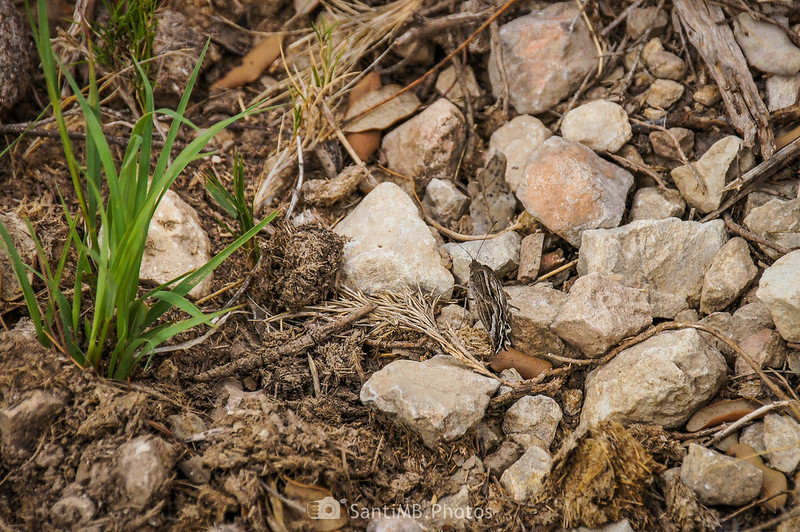 Mariposa camuflada entre piedras frente a Mas Vendrell