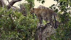 A leopard in Serengeti
