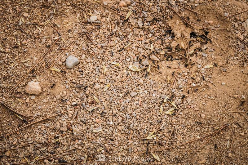 Hormigas con granos de avena en la entrada de un hormiguero en el Parque Natural del Garraf