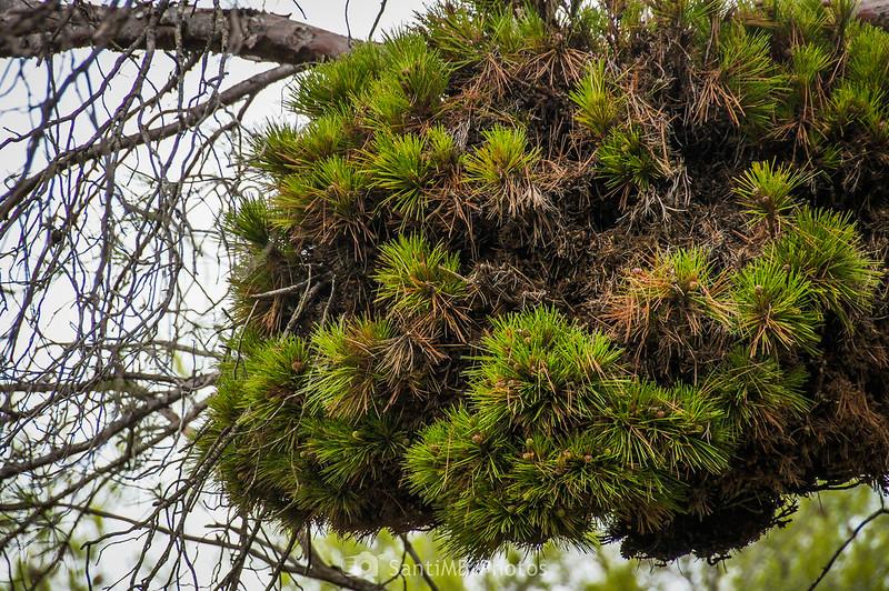 Escoba de bruja en pino carrasco en el Parc Natural del Garraf