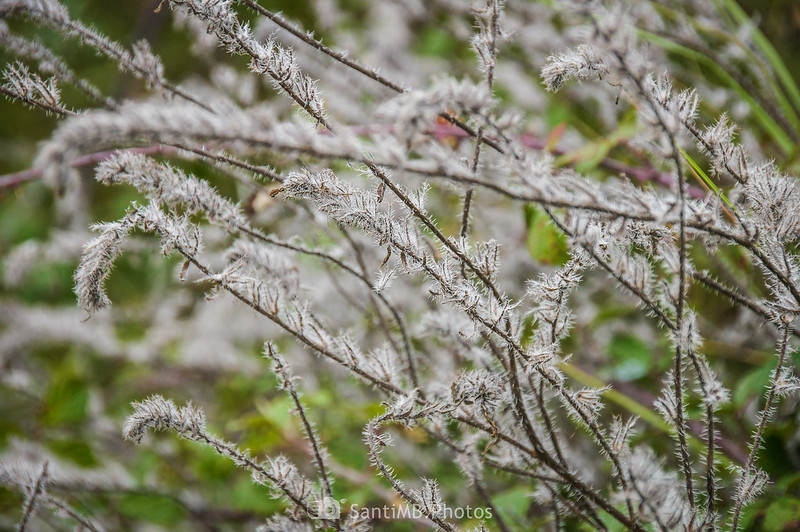 Planta peluda blanca en el Camí Blanc de Olivella