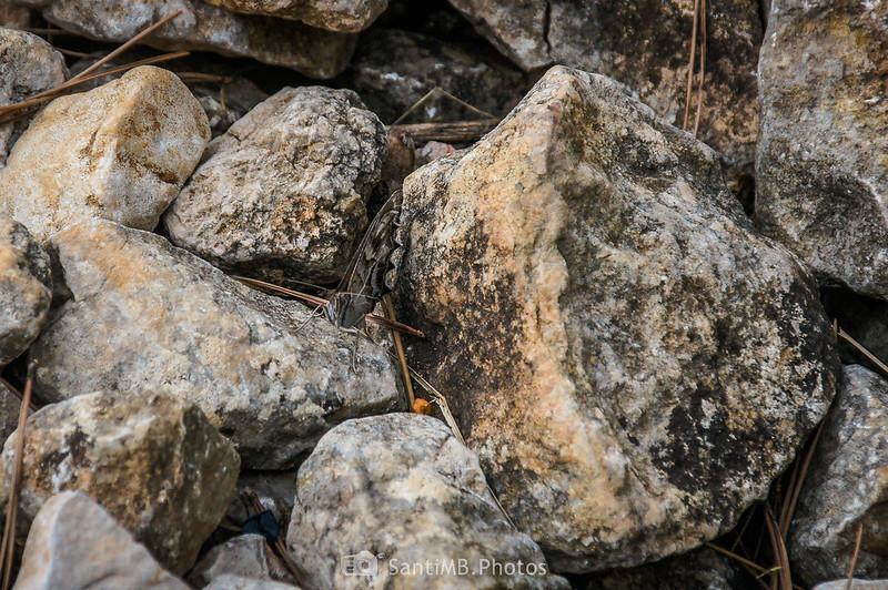 Mariposa camuflada en el Camí Blanc de Olivella